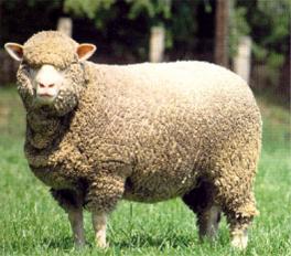 A lovely Merino Sheep, courtesy of http://animaladay.blogspot.ie/2012_03_01_archive.html
