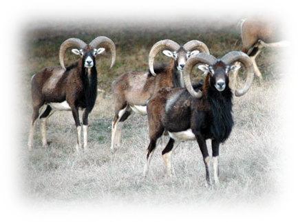 Mouflon-sheep-2