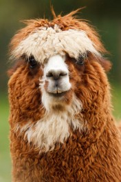ec8d18fe8 Alpaca – why is it so good for your family  »