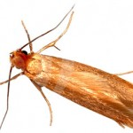 Image of the clothes moth